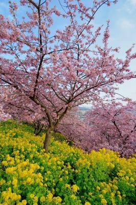 soku_30085.jpg :: 植物 花 桜 サクラ 河津桜