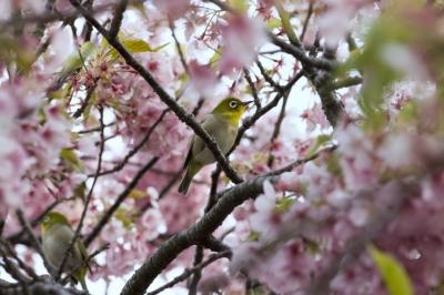 soku_30108.jpg :: 植物 花 桜 サクラ 動物 鳥 野鳥 自然の鳥 メジロ
