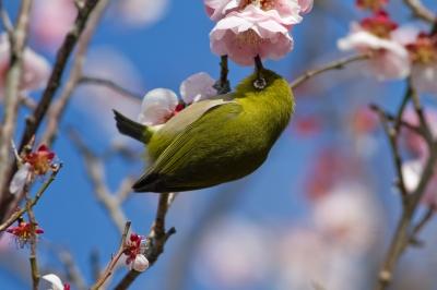 soku_30138.jpg :: 動物 鳥 野鳥 自然の鳥 メジロ