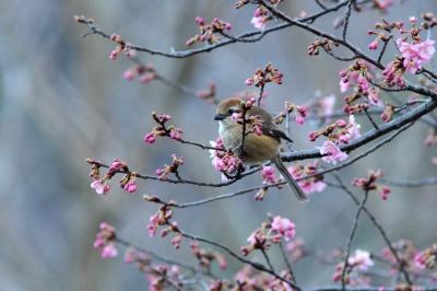 soku_30139.jpg :: 動物 野鳥 モズ 桜