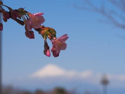 soku_30156.jpg :: 植物 花 桜 サクラ