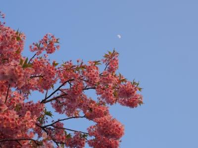 soku_30157.jpg :: 植物 花 桜 サクラ