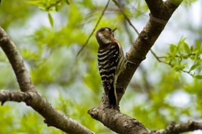soku_30177.jpg :: 動物 鳥 野鳥 自然の鳥 コゲラ