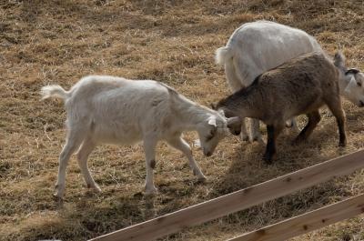 soku_30223.jpg :: 動物 ヤギ 六甲山牧場
