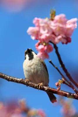 soku_30237.jpg :: 動物 鳥 雀 スズメ 河津桜 by kawazu
