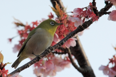 soku_30238.jpg :: 植物 花 桜 サクラ 動物 鳥 野山の鳥 メジロ by Atami