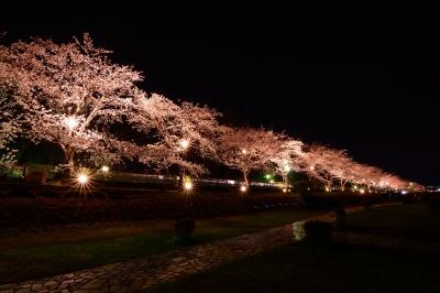 soku_30239.jpg :: 植物 花 桜 サクラ 夜桜 満開