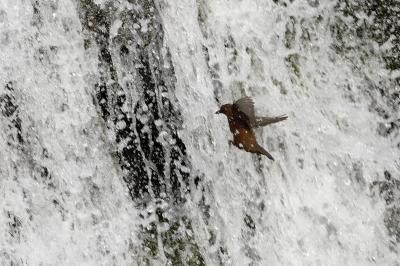 soku_30241.jpg :: 動物 鳥 野鳥 自然の鳥 カワガラス