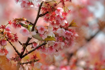 soku_30243.jpg :: 植物 花 桜 サクラ 動物 鳥 野山の鳥 メジロ by Atami