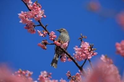 soku_30248.jpg :: 動物 鳥 ヒヨドリ 河津桜 by kawazu