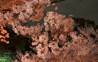 soku_30251.jpg :: 植物 花 桜 サクラ 夜桜