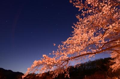 soku_30263.jpg :: 植物 花 桜 サクラ 夜桜 満開