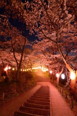 soku_30264.jpg :: 植物 花 桜 サクラ 夜桜 満開