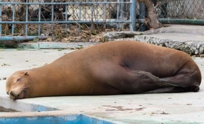 soku_30271.jpg :: 動物 哺乳類 海の生物 アザラシ アシカ 天王寺動物園