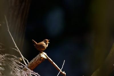 soku_30279.jpg :: 動物 鳥 野鳥 自然の鳥 ミソサザイ