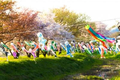 soku_30295.jpg :: D600 桜 鯉のぼり