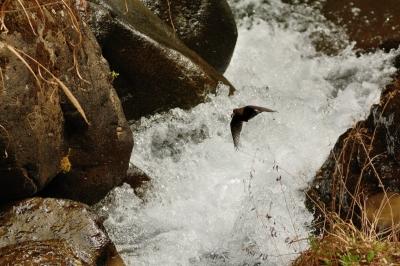 soku_30299.jpg :: 動物 鳥 野鳥 自然の鳥 カワガラス