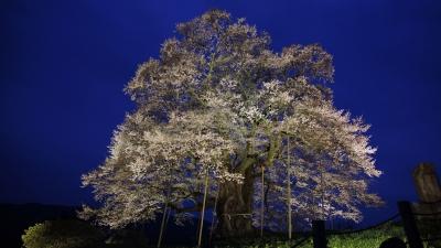 soku_30324.jpg :: 植物 花 桜 サクラ 夜桜 満開 醍醐桜