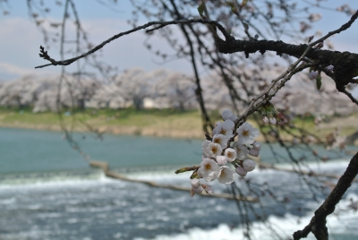 soku_30331.jpg :: 大河原 一目千本桜