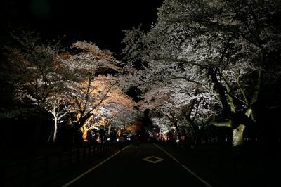 soku_30340.jpg :: 植物 花 桜 サクラ 夜桜 道 by Niigata