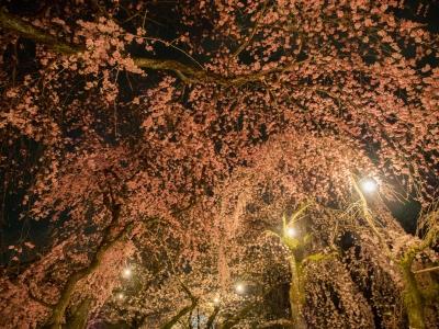 soku_30361.jpg :: 植物 花 桜 サクラ 夜桜