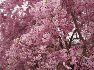 soku_30363.jpg :: 植物 花 桜 サクラ