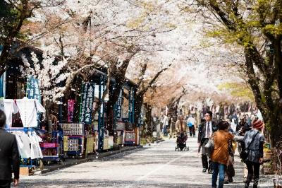 soku_30388.jpg :: 植物 花 桜 サクラ 花びら 花吹雪