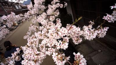 soku_30391.jpg :: 植物 花 桜 サクラ 満開 がいせん桜