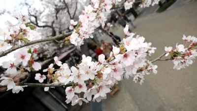 soku_30392.jpg :: 植物 花 桜 サクラ 満開 がいせん桜