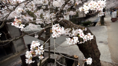 soku_30393.jpg :: 植物 花 桜 サクラ 満開 がいせん桜