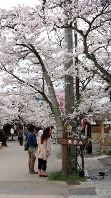 soku_30394.jpg :: 植物 花 桜 サクラ 満開 がいせん桜
