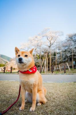 soku_30397.jpg :: 植物 花 桜 サクラ 動物 ペット 犬 風景