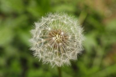 soku_30403.jpg :: 植物 花 タンポポ 綿毛