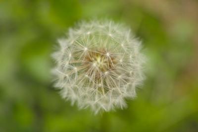 soku_30413.jpg :: 植物 花 タンポポ 綿毛
