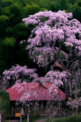 soku_30414.jpg :: 風景 街並み 郊外の風景 山村 桜 サクラ