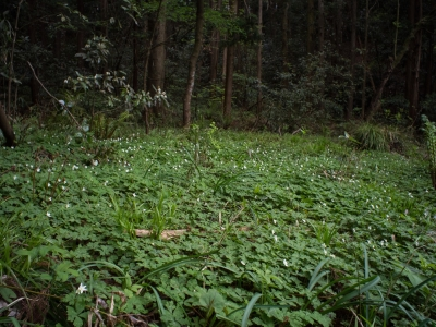 soku_30422.jpg :: 植物 花 野草 ニリンソウ 群生 ボディキャップレンズ