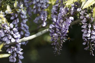 soku_30438.jpg :: 植物 花 藤 動物 虫 昆虫 蜂 ハチ