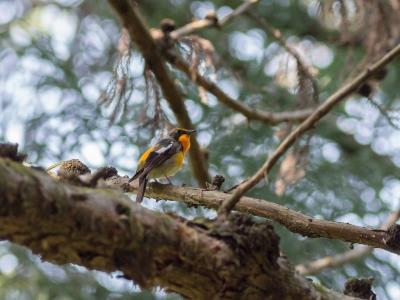 soku_30454.jpg :: 動物 鳥 野鳥 自然の鳥 キビタキ ヤング
