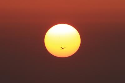 soku_30456.jpg :: 日の丸 動物 鳥 鷗 カモメ ウミネコ by Niigata