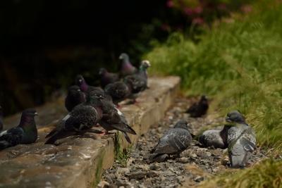 soku_30524.jpg :: 動物 鳥 鳩 ハト