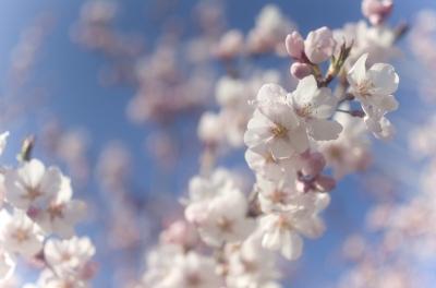 soku_30585.jpg :: 植物 花 桜 サクラ