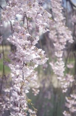soku_30586.jpg :: 植物 花 桜 サクラ