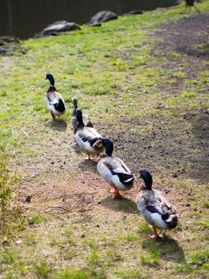 soku_30717.jpg :: 鳥 動物 花鳥園 鴨