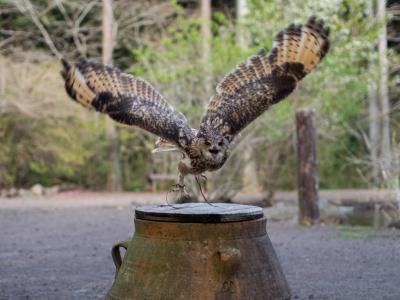 soku_30718.jpg :: 鳥 動物 花鳥園 ミミズク