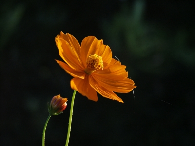 soku_30737.jpg :: 植物 花 秋桜 オレンジ色 コスモス