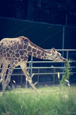 soku_30795.jpg :: 動物園 名古屋市東山総合公園 動物 生き物 キリン