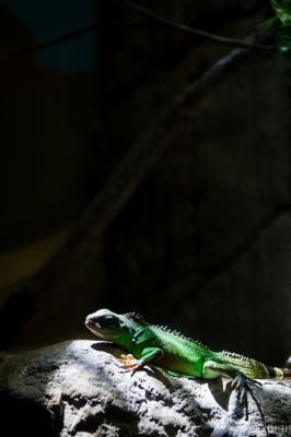 soku_30796.jpg :: 動物園 名古屋市東山総合公園 動物 生き物 トカゲ