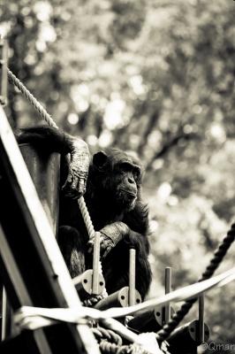 soku_30797.jpg :: 動物園 名古屋市東山総合公園 動物 生き物 チンパンジー