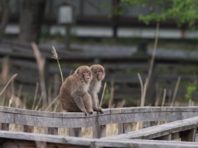 soku_30880.jpg :: 動物 哺乳類 猿 サル ニホンザル エテ公