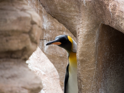 soku_30905.jpg :: 動物 鳥 ペンギン 動物園